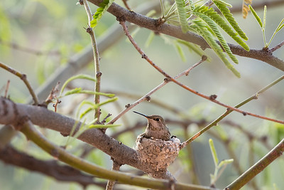 Costa's Humminbird on Nest