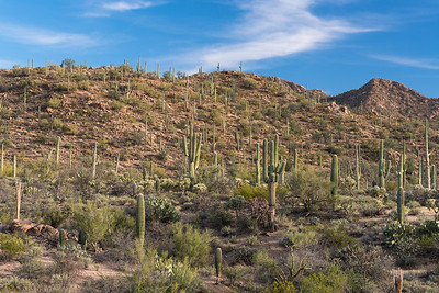 Saguaro Forest, Arizona