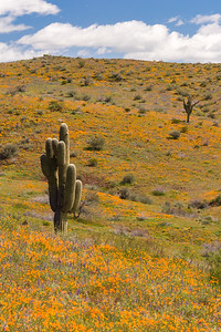 Spring Flowers and Saguaro