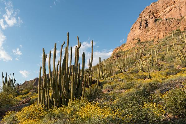 Organ Pipe Cactus Landscape