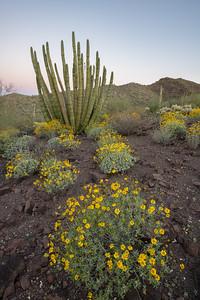 Springtime bloom in Sonoran Desert.