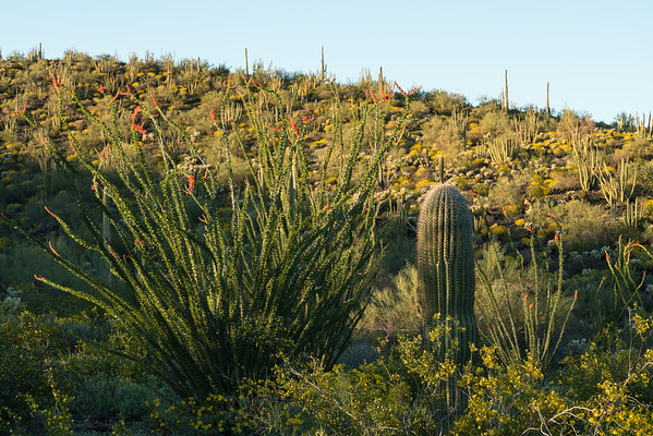 Springtime in the Sonoran Desert