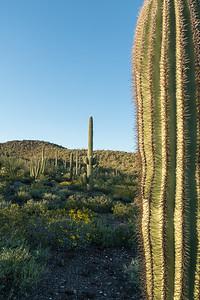 Amidst the Saguaro