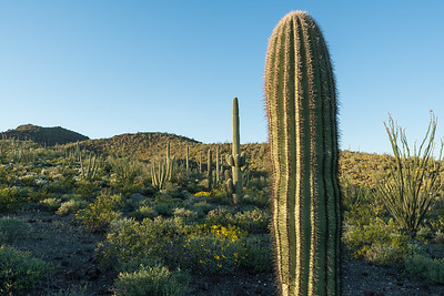 Saguaro Landscape