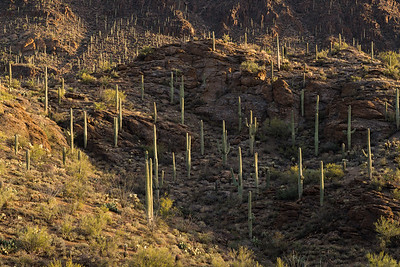 Sidelight on a Saguaro Landscape