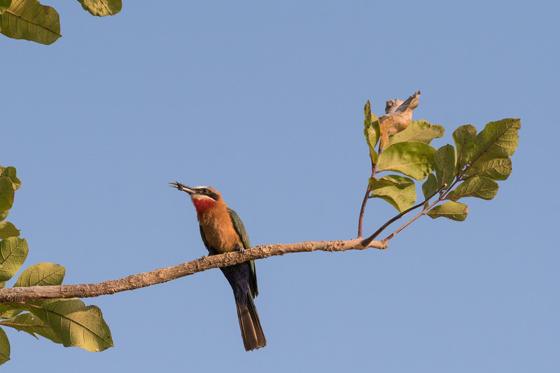 White-Fronted Bee Eater with Bee