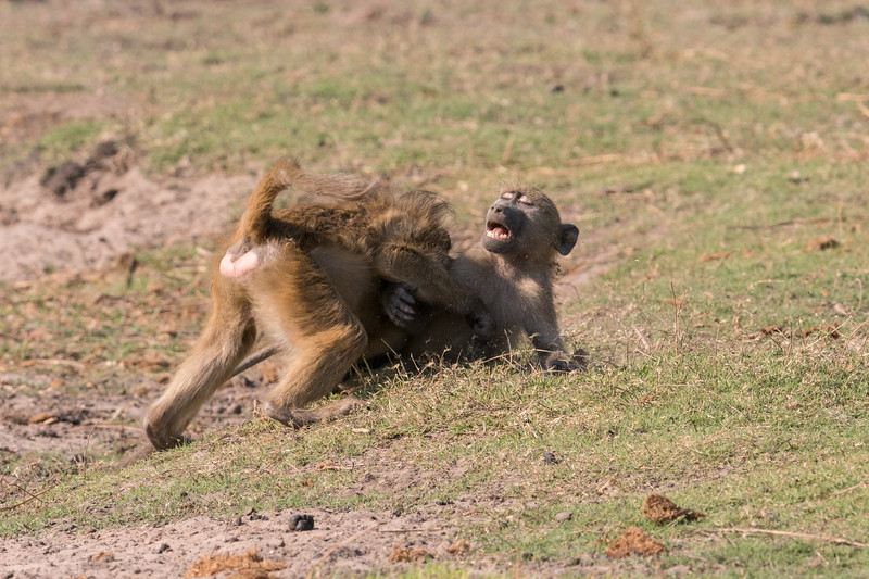 Play-fighting Baboons