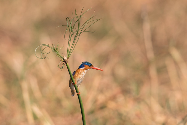 Malachite Kingfisher Perched on Papyrus Stalk.