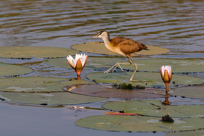 Jacana walking on Lily Pads, Botswana.