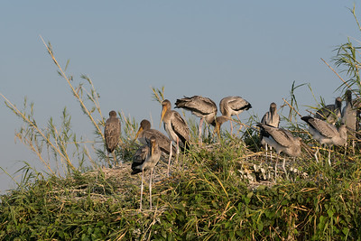 Yellow-billed Stork Rookery