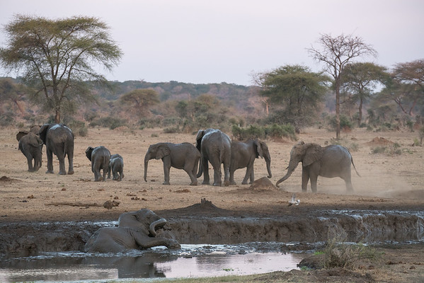 Elephants Mud Bathing