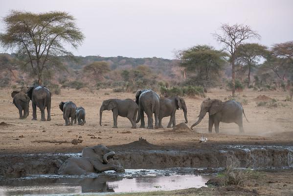 Elephants Mud Bathing