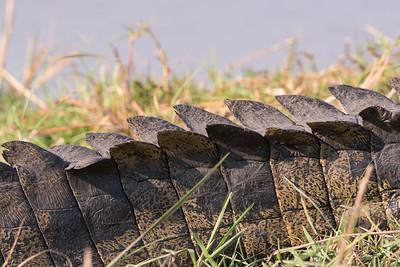 African Crocodile Armor.