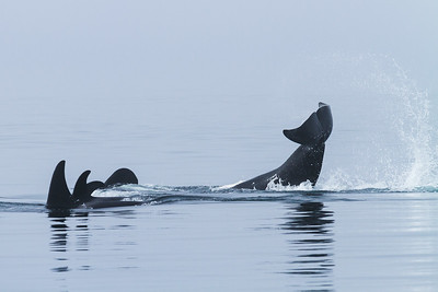 Orca Tail Slapping the Water.