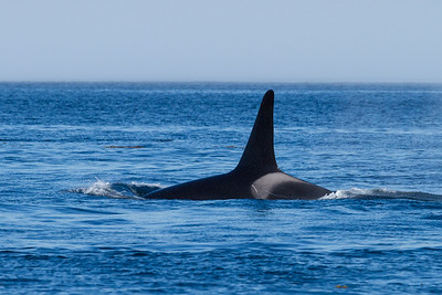 Orca Male Swimming