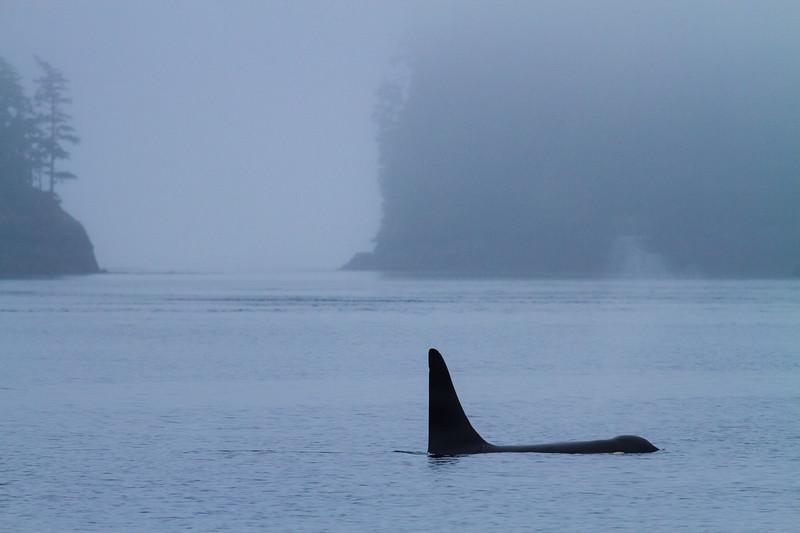 Lone Orca in Foggy Cove.