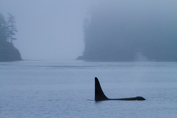 Lone Orca in Foggy Cove.
