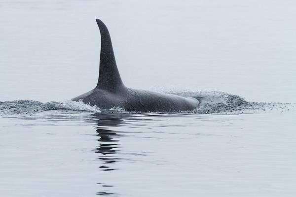 Male Orca