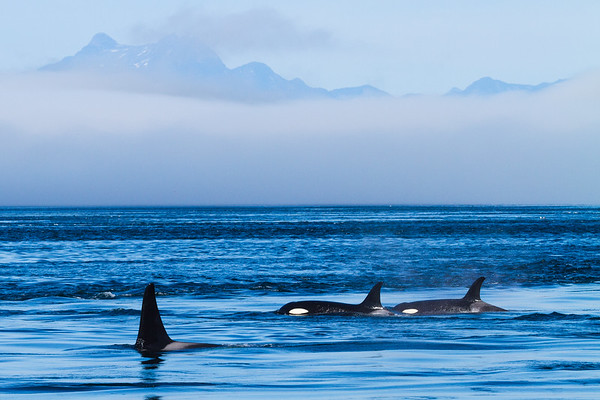 Orcas, Johnstone Strait, British Columbia
