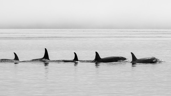 Synchronized surfacing orf and Orca pod.