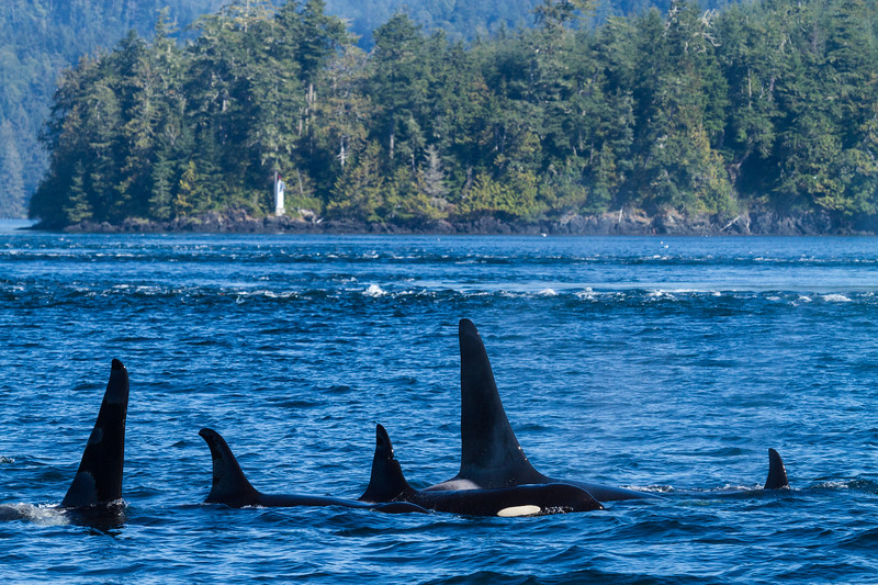 Orca pod swimming in blue waters.