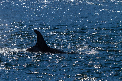 Swimming Orca, British Columbia.