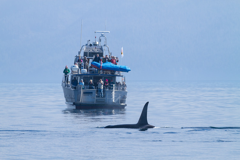 Male Orca and whale-watching boat.