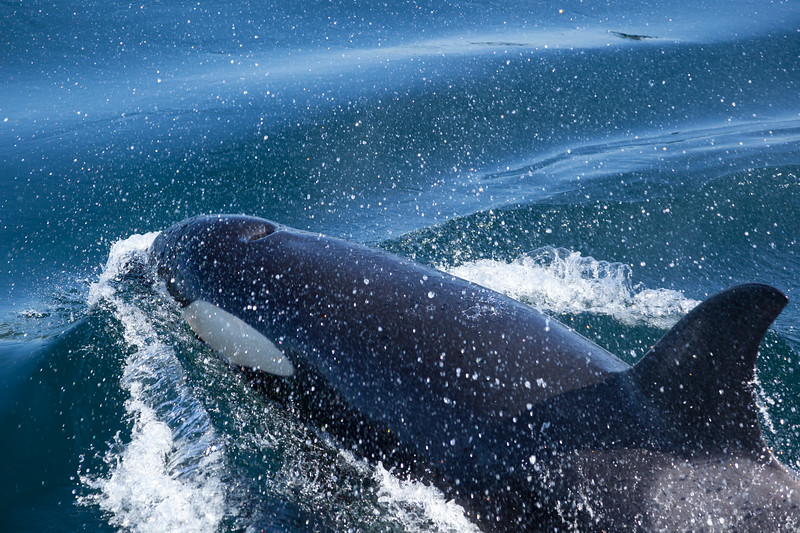 Orca coming up for air, up close.