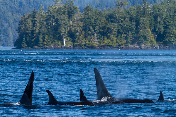 Orca Family, British Columbia