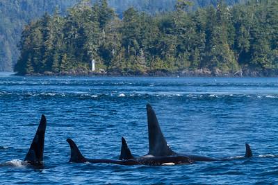 Orca Pod, Johnstone Strait