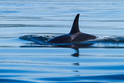 Orca and reflection