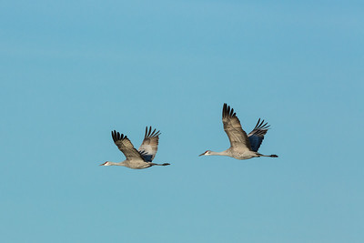 Lesser Sandhill Cranes in Flight