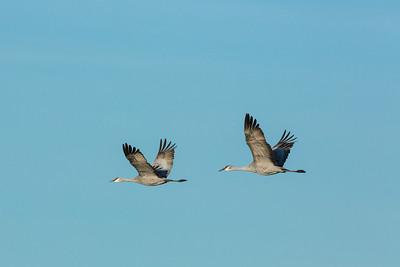 Lesser Sandhill Cranes in Flight