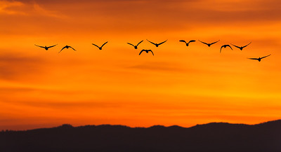 Geese silhouetted against sunset sky.