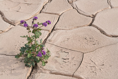 Phacelia blooming in dried mud.