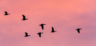 Formation  of geese at sunset, California.
