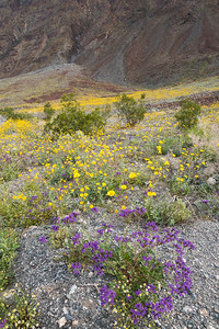 Wildflowers Carpet the Desert, Death Valley.