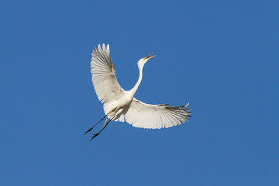Great Egret Squawking in Flight