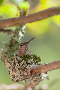 Anna's Hummingbird on Nest