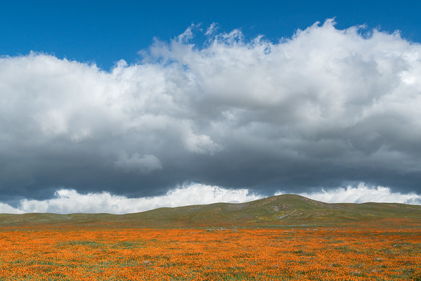 Springtime Poppies, Antelope Valley.