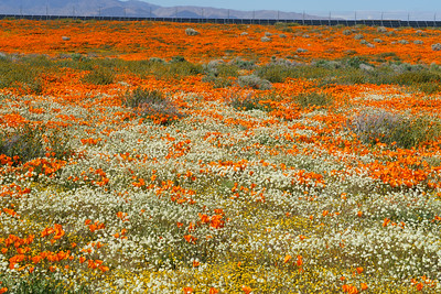 Desert Wildflowers, Antelope Valley