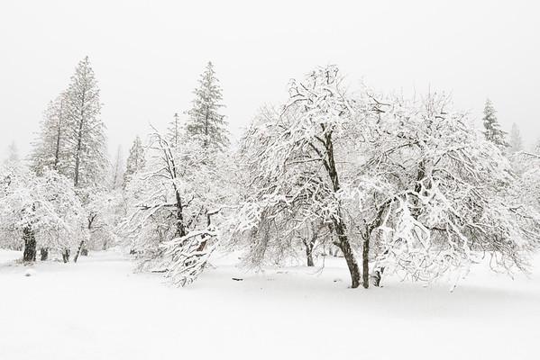 Snow on Oaks, Yosemite.