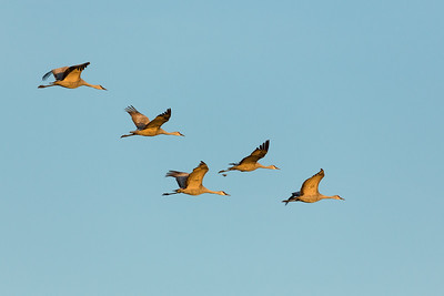 Lesser Sandhill Cranes in Afternoon Flight