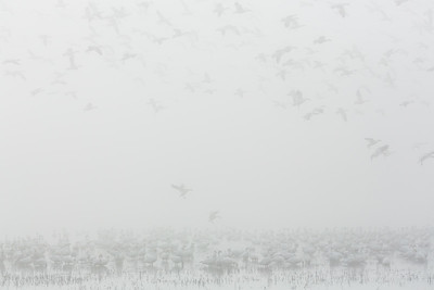 Incoming geese in the fog, California.