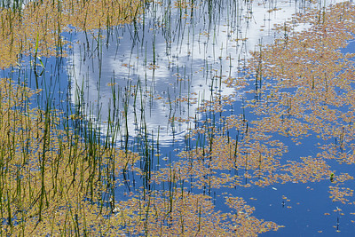 California. Reflections of sky and clouds in a pond of grasses and algae in Sonoma County.