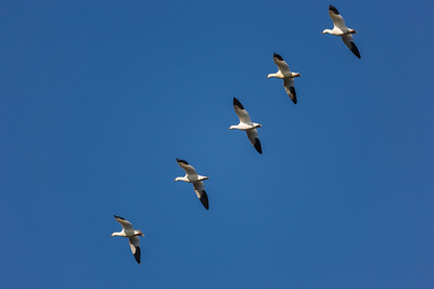 Snow geese flying in a diagonal line.