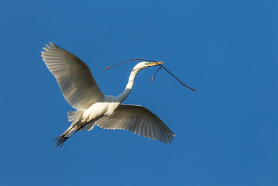 Great White Egret carrying a branch, California.