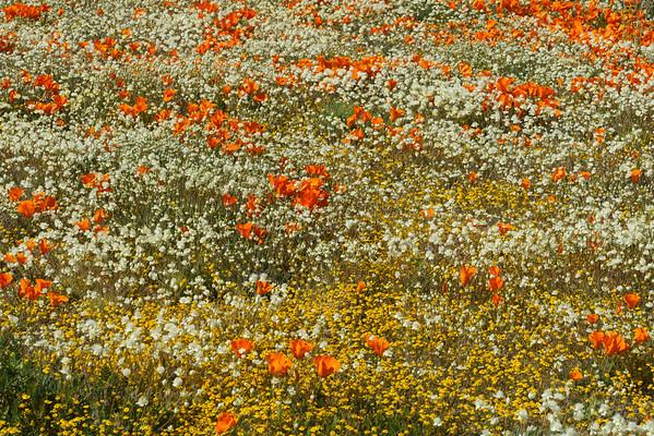 Desert Wildflowers, Antelope Valley