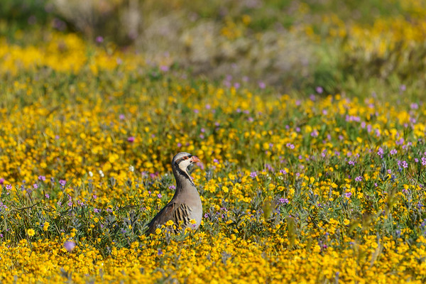 Chukar in wildflowers