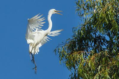 Great White Egret landing in tree, California.
